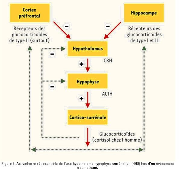 stress-physiologie-04